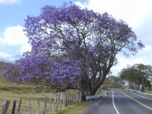 I don't know the flower associated with Jupiter, but I love the Jacaranda and the color works.